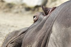 Hipopotam w zoo Zdjęcie Royalty Free