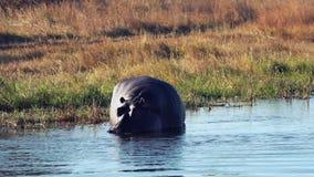 Hipopotam wachluje jego ogon podczas gdy defecating w rzece zbiory