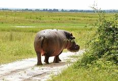 Hipopotam wallking daleko od Obrazy Royalty Free