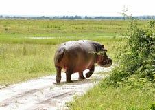 Hipopotam wallking daleko od Zdjęcia Royalty Free