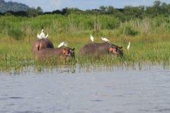 Hipopotam z Egrets obrazy royalty free