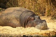 Hipopotam z Piaskowatym Stawia czoło obraz royalty free