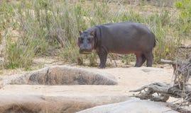 Hipopotam z wody podczas dnia Obrazy Royalty Free