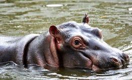 Hipopotam zanurzajÄ…cy w jego stawie zdjęcia royalty free