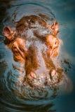 Hipopotam zanurzający w wodzie obraz royalty free