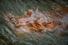 Hipopotam zanurzający w wodzie w górę go jest kierowniczy obraz stock