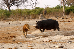 Hipopotama atak Obraz Stock