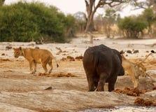 Hipopotama atak Zdjęcia Royalty Free