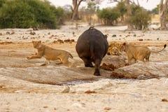 Hipopotama atak Zdjęcie Stock