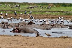 hipopotama basen Zdjęcia Royalty Free