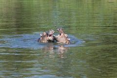 Hipopotama bawić się Zdjęcia Stock