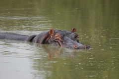 hipopotama dopłynięcie Obrazy Stock