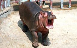 Hipopotama dziecko Obraz Royalty Free
