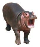 Hipopotama dziecko na białym tle Zdjęcie Royalty Free