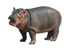 Hipopotama dziecko na białym tle Obraz Royalty Free