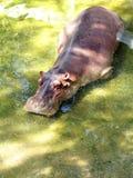 hipopotama garnek Obrazy Royalty Free