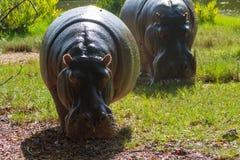 Hipopotama hipopotam w dzikiej naturze Obrazy Stock