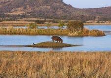 Hipopotama krajobraz Obraz Royalty Free