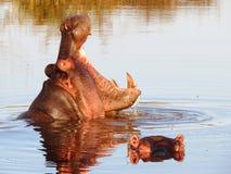 Hipopotama ostrzeżenia pokaz w Afryka zdjęcia stock