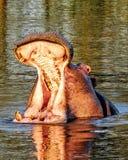 Hipopotama ostrzeżenie Obrazy Stock
