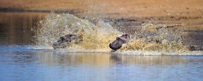 Hipopotama pływanie Zdjęcia Royalty Free