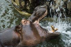 Hipopotama pić Zdjęcia Royalty Free