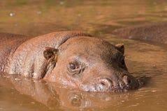hipopotama pigmej Obrazy Stock
