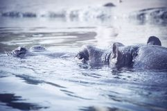 Hipopotama podglądanie z wody zegarka behemot Zakończenie zdjęcia stock