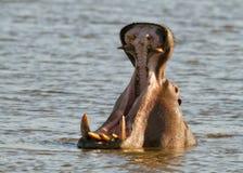 hipopotama powitanie Fotografia Stock