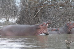 Hipopotama poziewanie Obraz Royalty Free