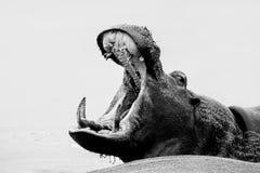 Hipopotama poziewanie Obrazy Royalty Free