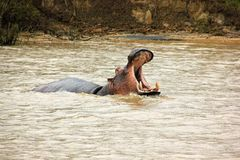 Hipopotama St Lucia Fotografia Stock