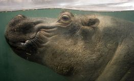 hipopotama underwater Obraz Royalty Free