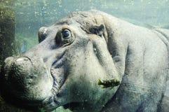hipopotama underwater Obrazy Royalty Free