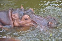Hipopotama zbliżenie Zdjęcia Royalty Free