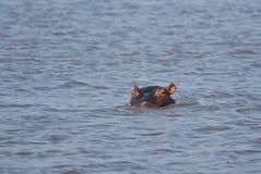 Hipopotama zerkanie Zdjęcie Stock