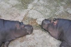 Hipopotamos Fotografía de archivo