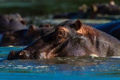 Hipopotamowa Portreta Samiec Przyroda   Zdjęcia Stock