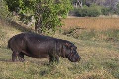 Hipopotamowa pozycja w trawie Obrazy Royalty Free