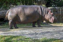 Hipopotamowa samiec Fotografia Royalty Free