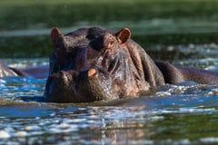 Hipopotamowa Wielka Męska Przyroda Obraz Royalty Free