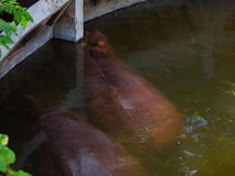 Hipopotamowy dopłynięcie w wodzie Zdjęcie Stock