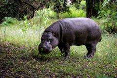Hipopotamowy dzieciak Zdjęcie Stock