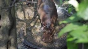 Hipopotamowy hipopotam w zoo Zwierzęcia pojęcie w zoo zdjęcie wideo