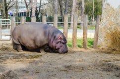 Hipopotamowy Hipopotamowy amphibius Przyrody zwierzę Obrazy Stock