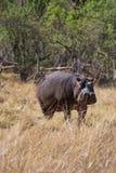 Hipopotamowy odprowadzenie na ziemi Obraz Stock