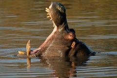 hipopotamowy ziewanie Zdjęcia Stock