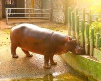 Hipopotamus hipo in ho chi mihn zoo Royalty Free Stock Images
