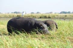 hipopotamy fotografia royalty free