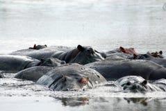 hipopotamy Obrazy Stock